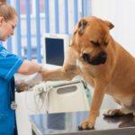 犬咳【気管虚脱】末期前に名医に手術を依頼♤手術費用・入院中の画像有【アトム動物病院2019】