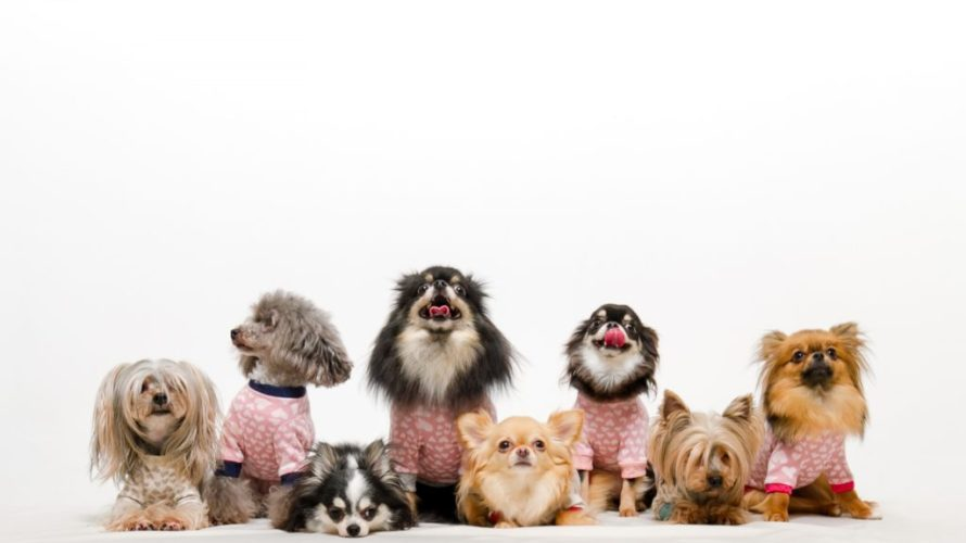 犬の気管虚脱【なりやすい犬種は?】軽度の対応と予防法★ヨークシャ、トイプードル以外も注意!